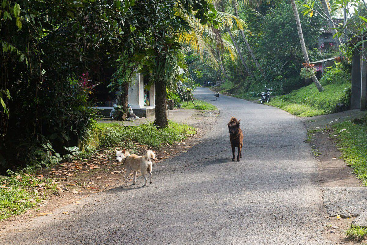 Stray dogs on road - renting a scooter in bali